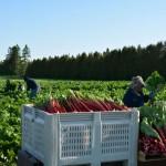 Rhubarb Harvesting in Shelburne Ontario