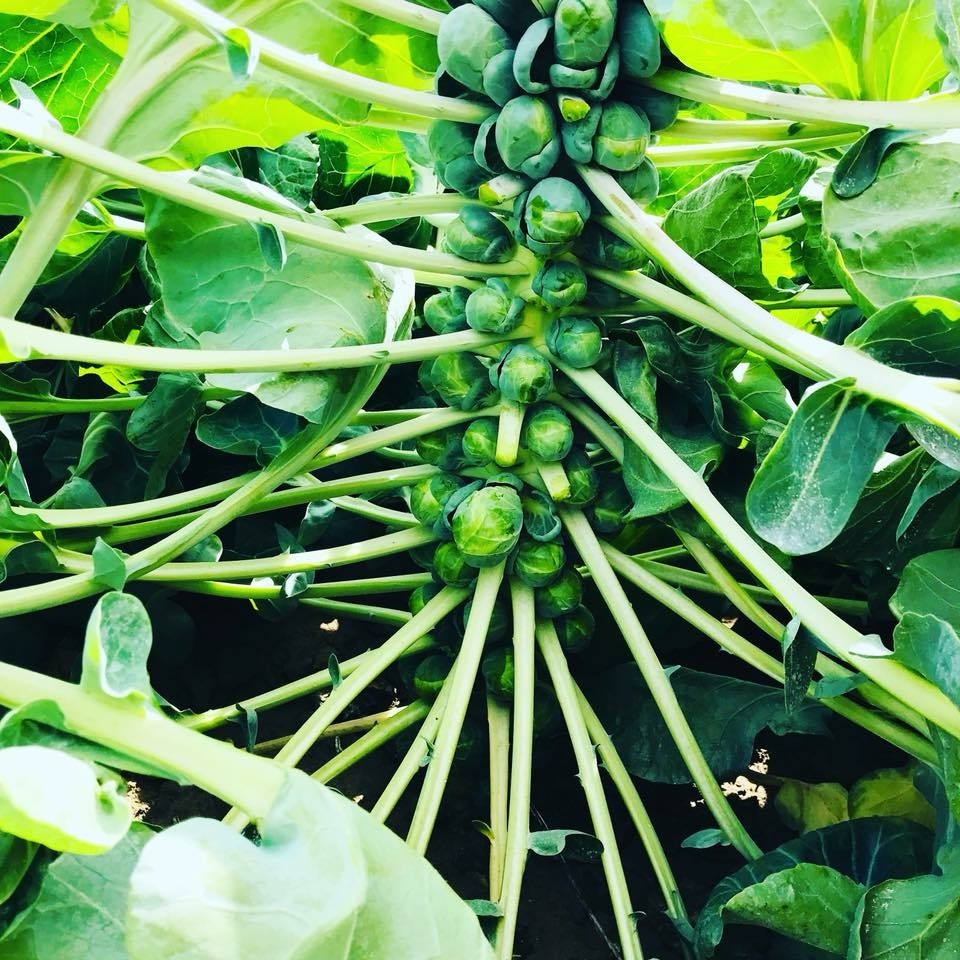 Brussel Sprouts on the vine