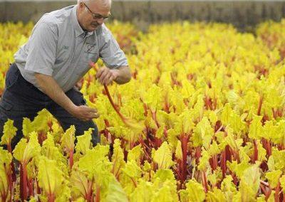 winter rhubarb harvest