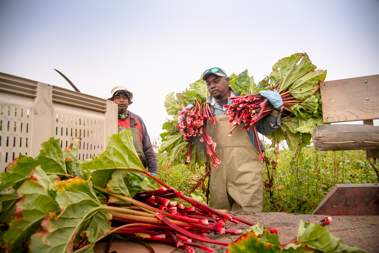 loading rhubarb