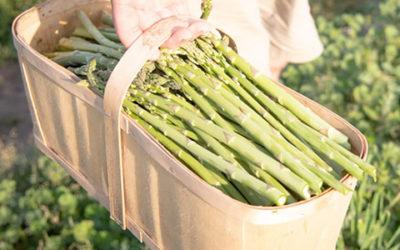 Asparagus Harvest in Full Swing